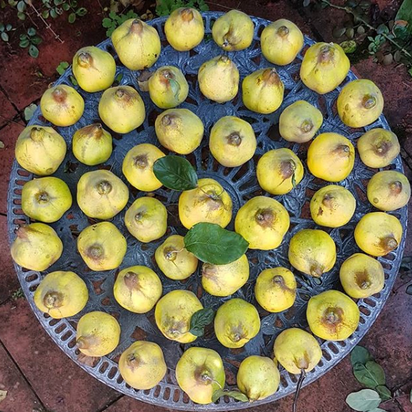 A round table covered in quinces